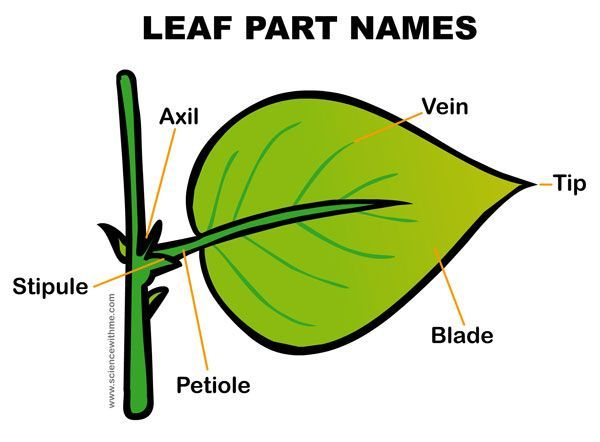 Parts Of A Leaf! Have The Children Pick A Leaf From Outside And