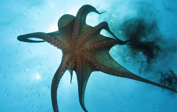 Octopus Facts For Kids